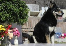 Dog stands guard over deceased owner's grave for six years