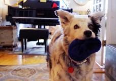 Meet Chaser the World's Smartest Dog